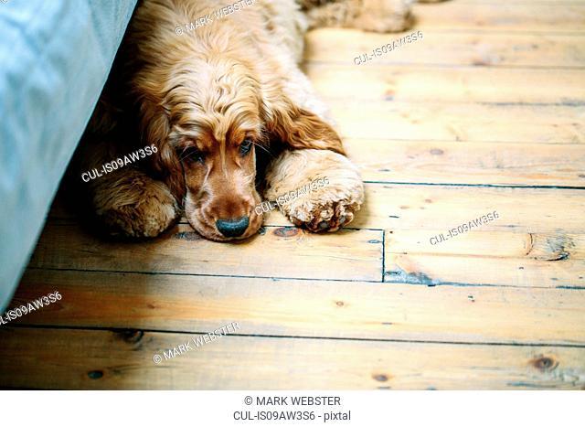 Puppy lying on wooden floor