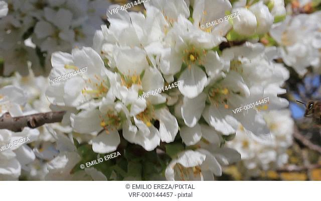 Bees on cherry tree flowers