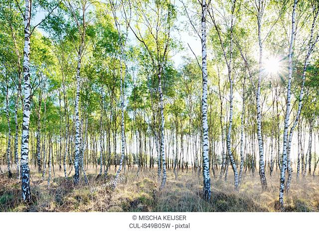 Birch trees in spring morning sunlight