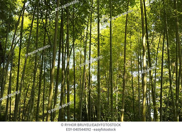 Batumi, Georgia. Spring Tall Trees Bamboo Woods. Sunlight In Tropical Forest, Summer Nature. Different Deciduous Trees Summer Background. Nobody