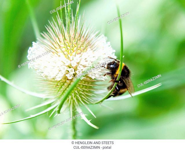 Close up of bumblebee feeding on wildflower nectar