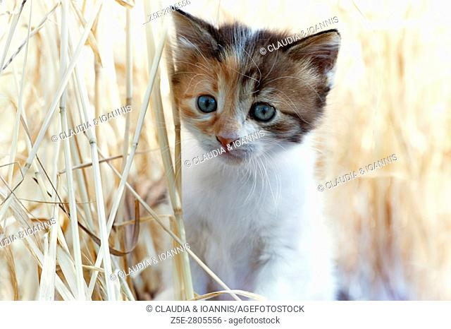 A calico kitten is walking in tall dry grass