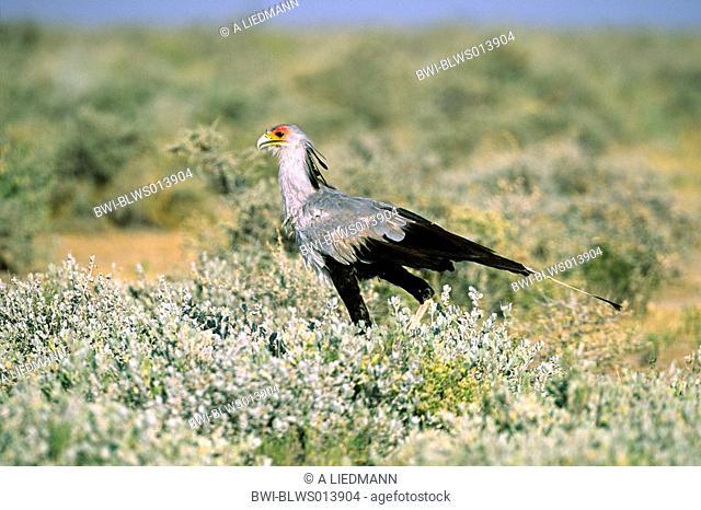 secretary bird Sagittarius serpentarius, walking in the savanna, Namibia, Ovamboland, Etosha NP