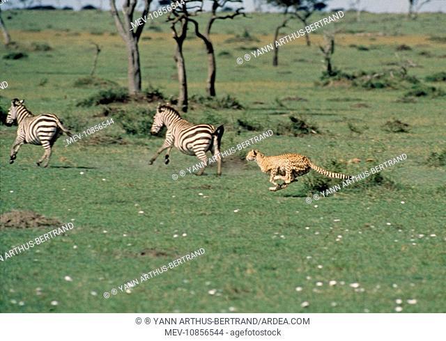 CHEETAH - chasing two zebra
