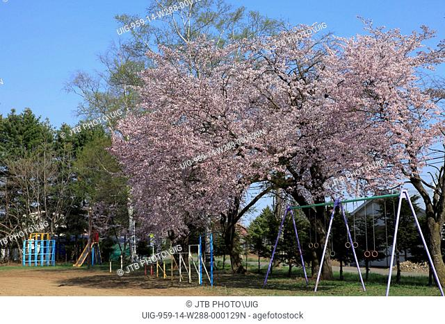 Japan, Hokkaido Region, Memuro-cho, View of cherry tree in playground