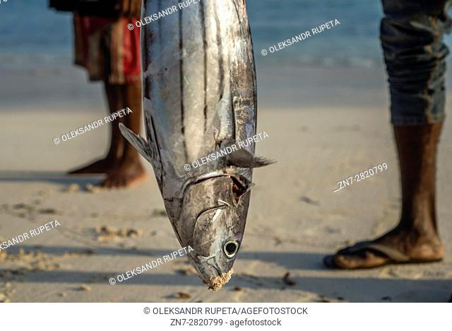 Fisherman carries his catch, the yellowfin tuna, to the fish market near the ocean in Nungwi village, Zanzibar. Dealers are ready to bargain for fish during the...