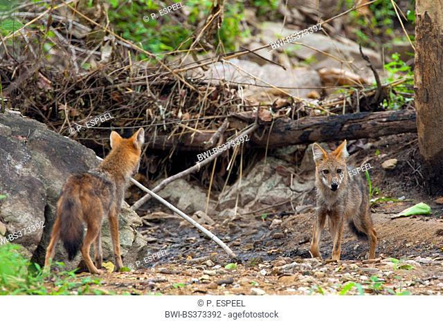 golden jackal (Canis aureus), in front of turned over tree and rocks, Thailand, Huai Kha Khaeng Wildlife Sanctua