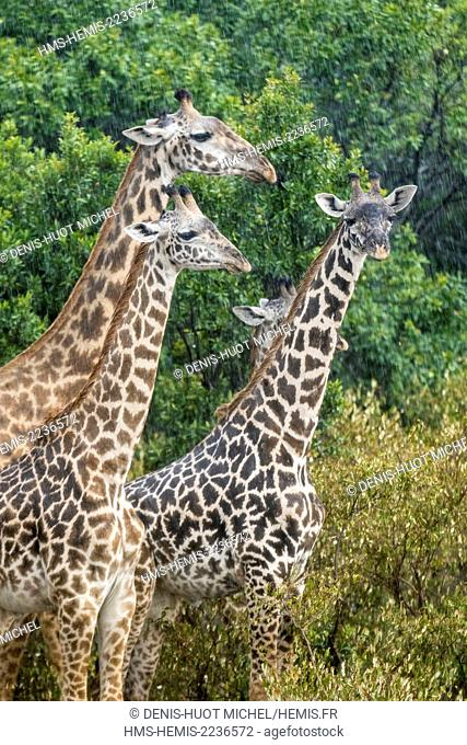 Kenya, Masai-Mara Game Reserve, Girafe masai (Giraffa camelopardalis), under the rain