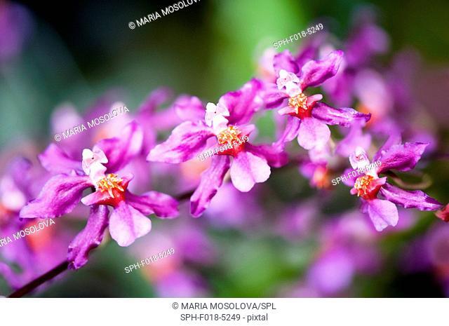 Purple orchid (Wilsona hybrid) flowers