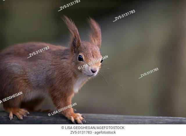 Red Squirrel-Sciurus vulgaris. Uk