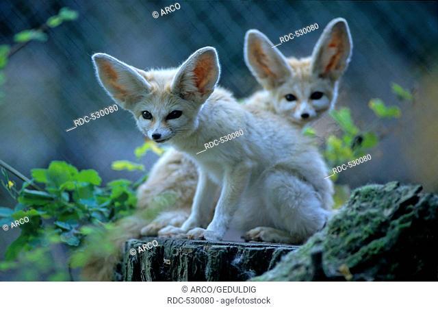 Fennec (Vulpes Zerda) Desert Fox