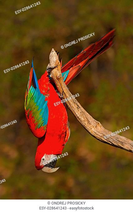 Big red parrot Red-and-green Macaw, Ara chloroptera, sitting on branch