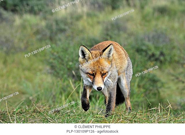 Red fox Vulpes vulpes stalking prey in meadow by following scent trail, the Netherlands