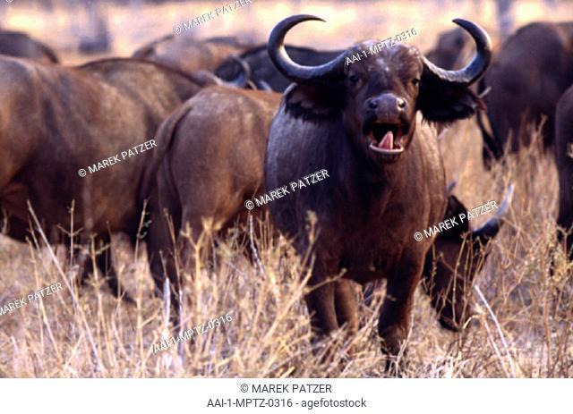 Buffalo herd, South Luangwa National Park, Zambia