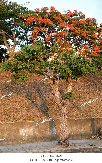 Tree in blossom in the Mozambican town of Inhambane