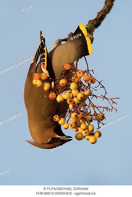 Waxwing (Bombycilla garrulus) feeding on rowan berries