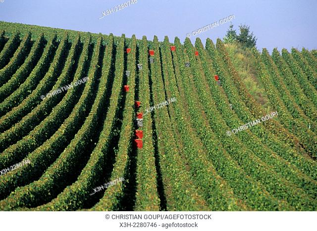 grape harvesting in Champagne vineyards, Marne department, Champagne-Ardenne region, France, Europe