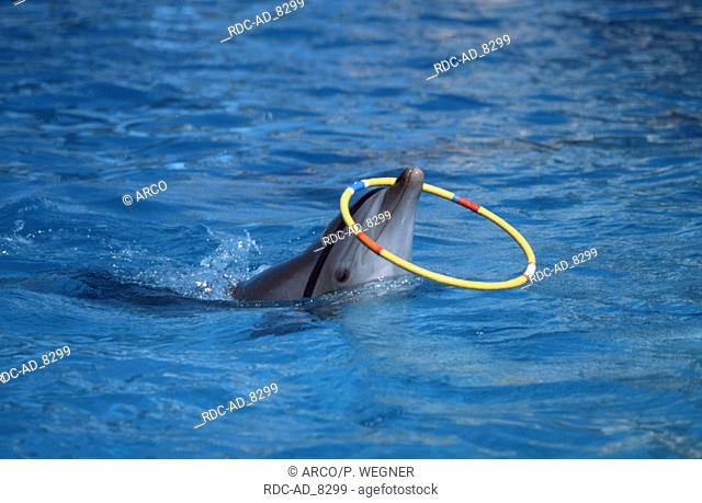 Bottlenose Dolphin with toy Tursiops truncatus