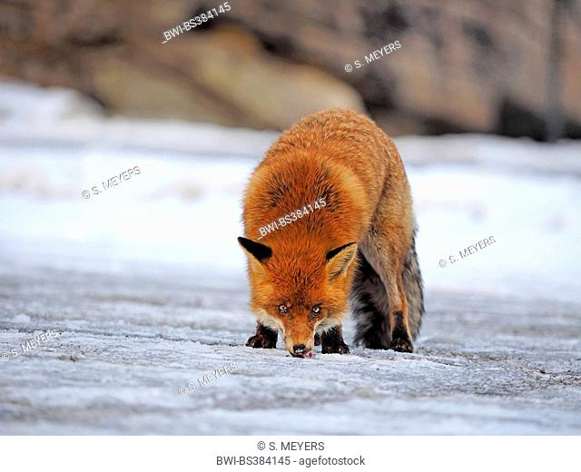 red fox (Vulpes vulpes), searching food, Italy, Val d'Aosta