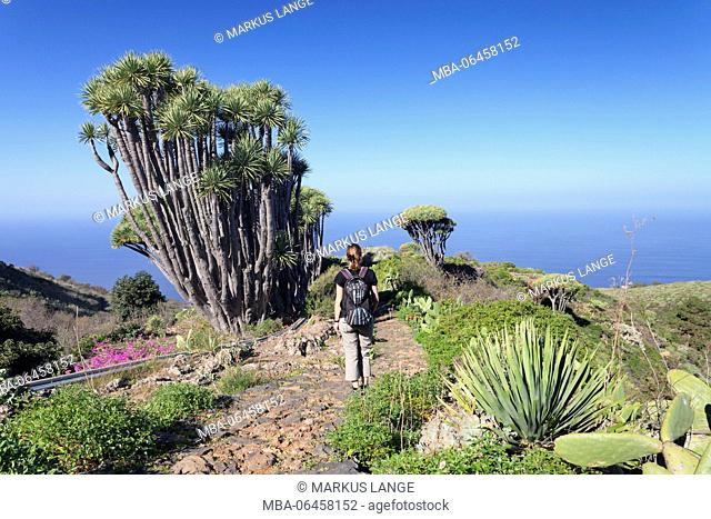 Hiker marvels at a Canary Islands dragon tree (Dracaena draco), Las Tricias, La Palma, Canary islands, Spain