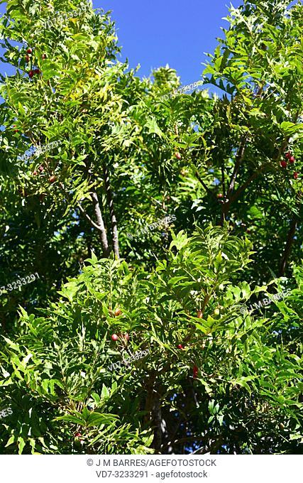 Wild plum or kaffir plum (Harpephyllum caffrum) is an evergreen tree native to southern Africa. Its fruits are edible