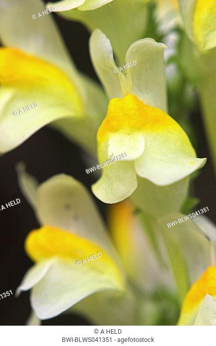 common toadflax, yellow toadflax, ramsted, butter and eggs Linaria vulgaris, inflorescence, detail, Germany, Baden-Wuerttemberg