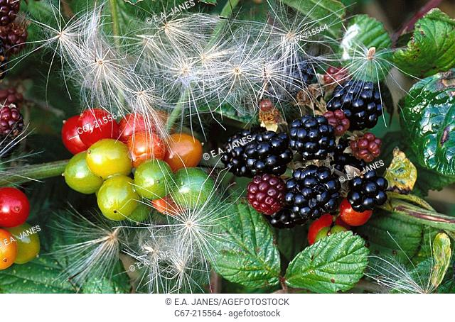 White Bryony (Bryonia dioica or Bryonia cretica) and Blackberries (Rubus fruticosus)