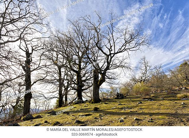 Oaks at Well Hill in The Sierra de Gredos. Avila. Spain