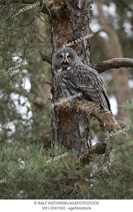 Great Grey Owl ( Strix nebulosa ), adult bird of prey, perched in a conifer, pine tree, well camouflaged, calling
