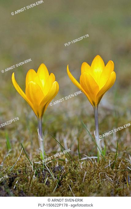 Two spring crocuses / Dutch yellow crocus (Crocus flavus / Crocus luteus) flowering in spring