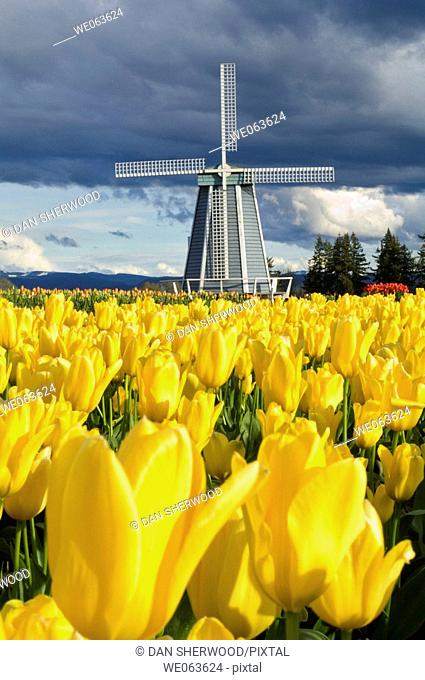 Wooden Shoe Tulip Farm - near Woodburn, Oregon, USA