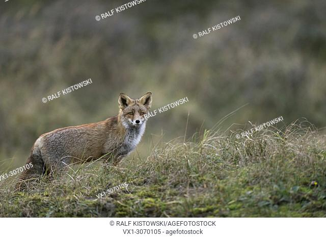 Red Fox (Vulpes vulpes) stands in high gras, nice surrounding, open land, watching attentively, typical behaviour, wildlife, Germany, Europe
