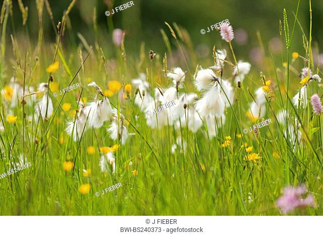 common cotton-grass, narrow-leaved cotton-grass Eriophorum angustifolium, fruiting in a swamp meadow, Germany, North Rhine-Westphalia