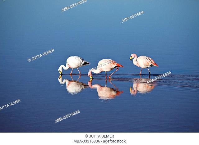 Bolivia, Los Lipez, Laguna Colorada, Andes flamingos