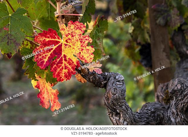 Ancient Vine and Fall Leaves St. Helena, Napa Valley, California, USA