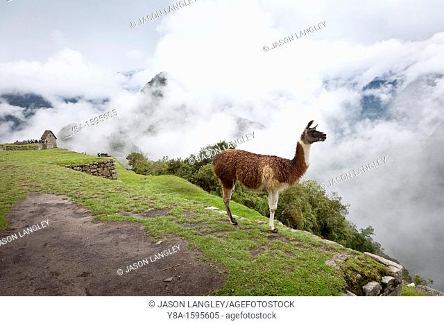 A Llama L  glama with the 'Watchman's Hut' in the background on a foggy morning at Machu Picchu, Peru