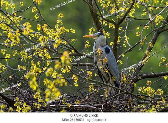Grey Heron, Ardea cinerea, in the nest, Hesse, Germany