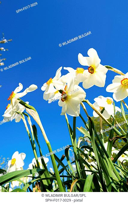 White daffodils against a blue sky