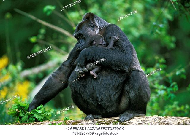 Eastern Lowland Gorilla, gorilla gorilla graueri, Mother and young