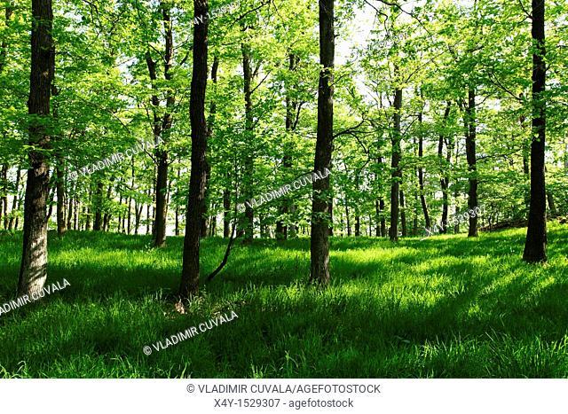 Male Karpaty's forest near Modra, Slovakia