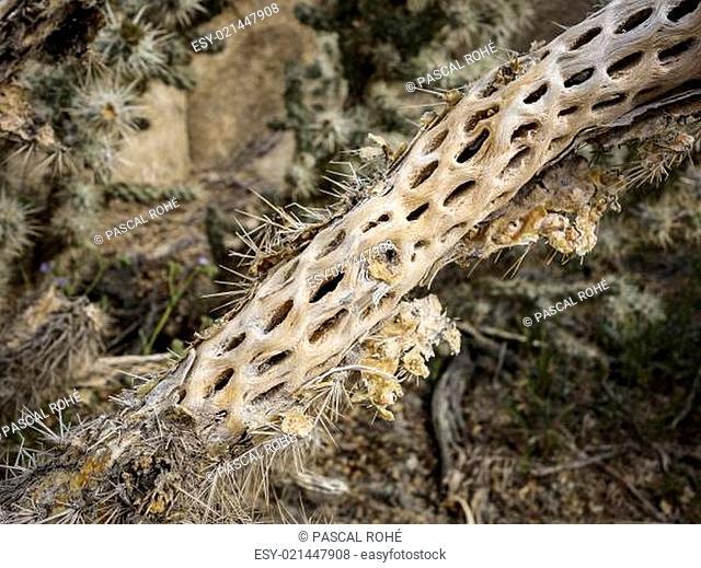 Pinie - Nadelbaum in Nordamerika, National Park