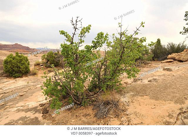Single-leaf ash (Fraxinus anomala) is a deciduous shrub or small tree native to southwest USA and northwest Mexico. This phot was taken in Canyonsland National...
