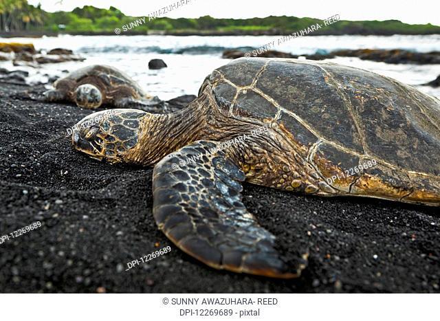 Close up of Hawaiian Green Sea Turtle, Punaluu Black Sand Beach; Island of Hawaii, Hawaii, United States of America