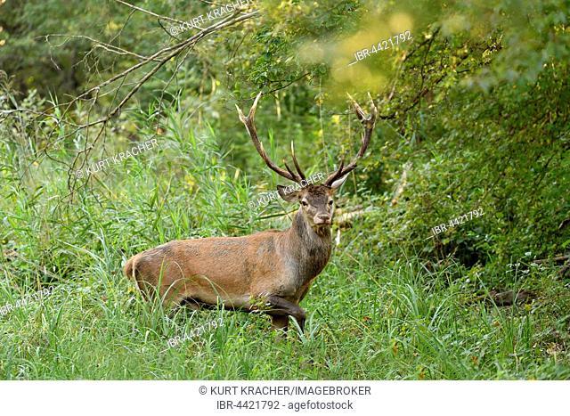 Male red deer (Cervus elaphus) in high grass, Danube-Auen, Lower Austria, Austria