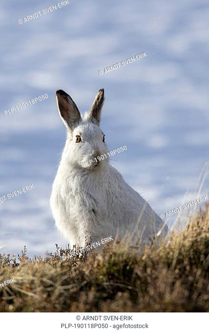 Mountain hare / Alpine hare / snow hare (Lepus timidus) in white winter pelage, Cairngorms National Park, Scotland, UK