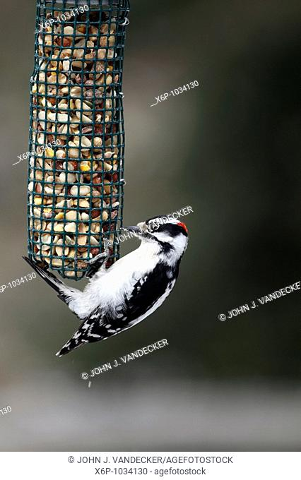 Male Downy Woodpecker, Picoides pubescens, at bird feeder  A male Downy Woodpecker has the splash of red feathers on the backside of its head  New Jersey, USA