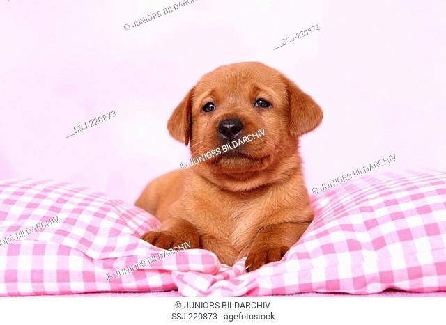 Labrador Retriever. Puppy (5 weeks old) lying on a pink and white checkered blanket. Germany. Studio picture seen against a pink background