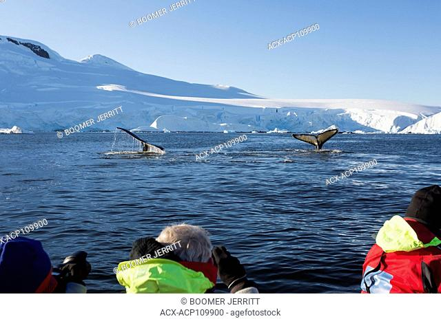 Passengers watch from a Zodiak, Humpback Whales feeding in Fournier Bay off of Anvers Island, Gerlache Strait, Antarctic Peninsula