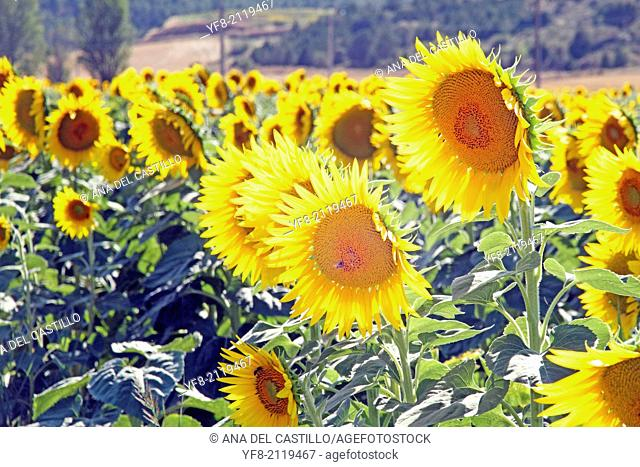 Field of sunflowers in Cuenca province Castile Spain