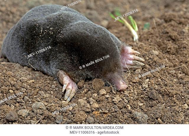 European Mole emerging from molehill Cotswolds, UK (Talpa europaea)